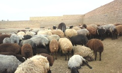 Sheeps in Iran